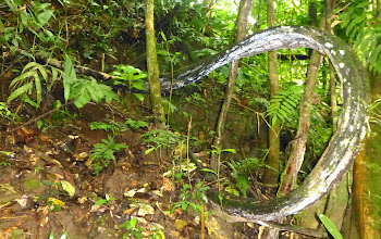 "Photo: ""Anaconda"" vine, can grow to 200 meters long"