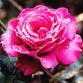 Roses live wallpaper. Beautiful roses for girls APK