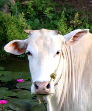 Photo: Year 2 Day 47 -  Cow