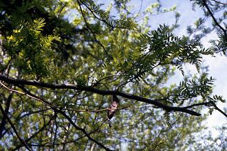 Photo: Hojas y fruto de acacia de tres espinas