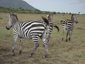 Photo: Zebras... Running away from us