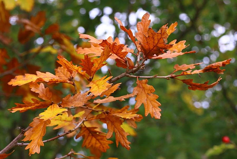 Golden Oak by Chrissie Barrow - Nature Up Close Leaves & Grasses ( colour, orange, autumn, oak, brown, yellow, leaves, bokeh,  )