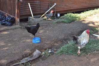 Photo: And the chickens again.