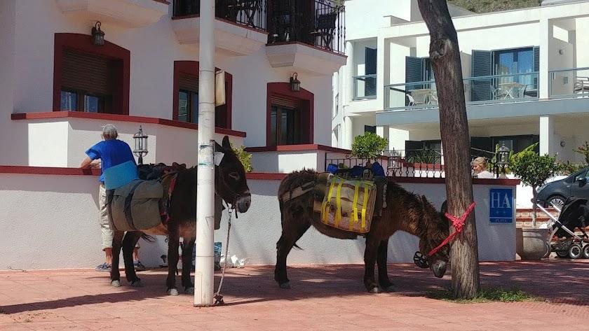 Dos burros en San José, esperan a sus dueños, dos turistas que han viajado desde Francia con sus burritos.