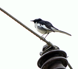 Photo: White Browed Wagtail