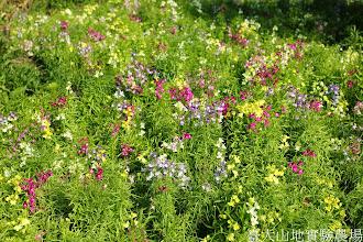 Photo: 拍攝地點: 梅峰-溫帶花卉區 拍攝植物: 柳穿魚 拍攝日期: 2015_01_15_FY