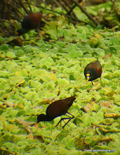 Photo: Northern Jacanas in a pond at Chacalilla