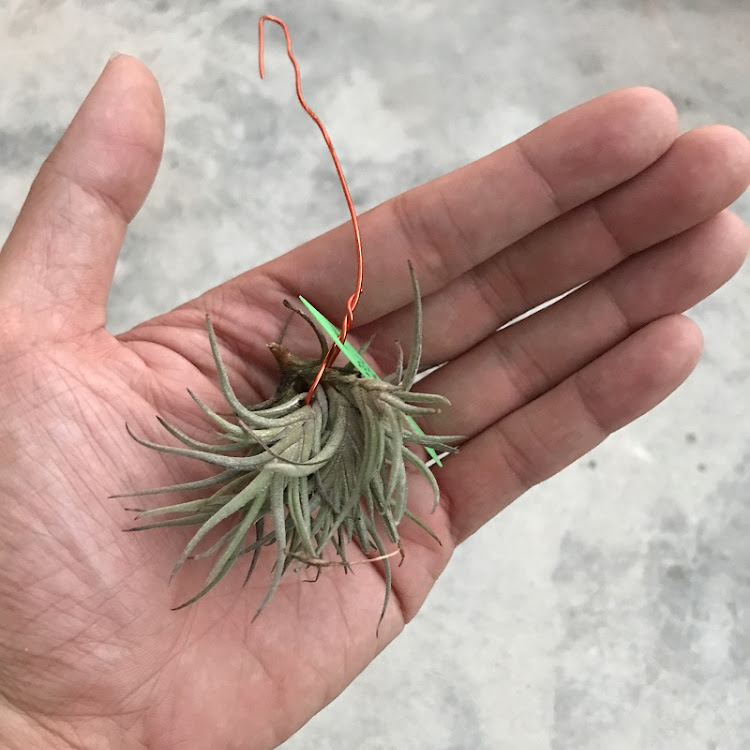 Air Plant - Tillandsia bandensis by AquaticsForevers Enterprise
