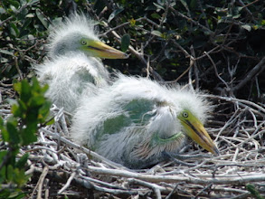 Photo: Newly-hatched Egrets Image courtesy Rachel Carson Reserve