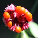 American Strawberry-bush