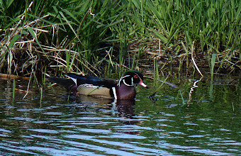 Photo: Male Wood Duck