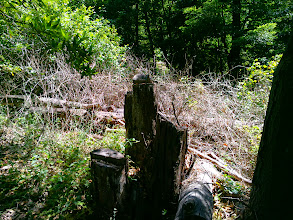 Photo: Stumps and trunks, remains of the eradication project.