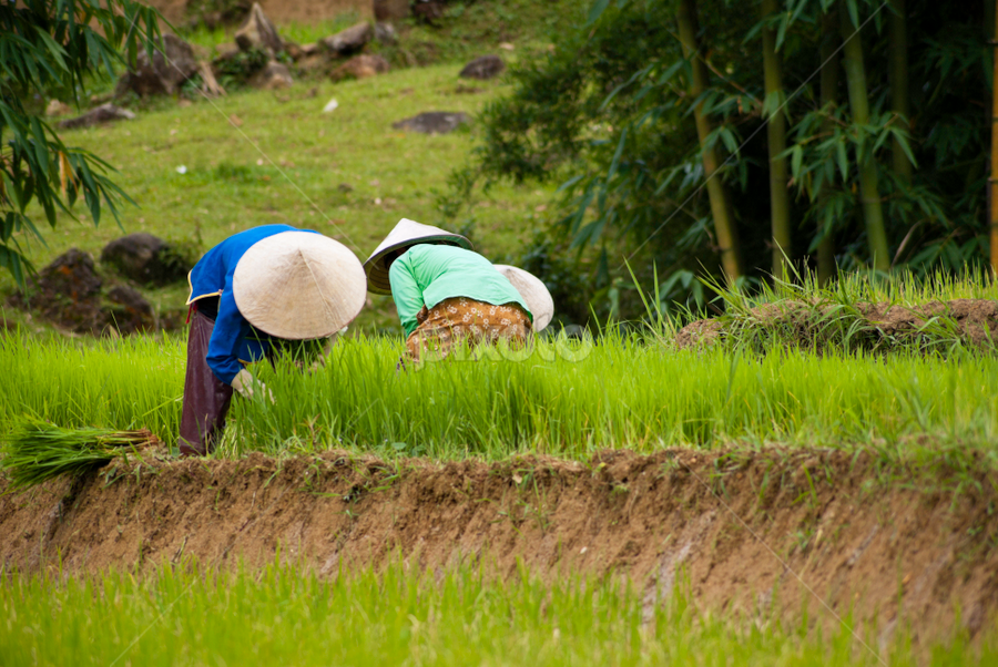 Paddy Field Workers by Lee Charlton - People Street & Candids ( the natural world, laos, manual worker, thailand, farmhouse, landscape, environmental conservation, crop, hat, farm, traditional culture, asian cuisine, nature, poverty, vietnamese cuisine, asia, rice paddy, vietnamese culture, vietnamese ethnicity, working, cambodia, food and drink industry, china, water, foods and drinks, chinese ethnicity, occupation, rice, green, scenics, agriculture, job, planting, vietnam, landscaped, women, field, indigenous culture, organic, environment, chinese culture, groceries, food, rural scene, wildlife reserve )