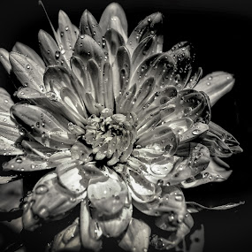 Chrysanthemum by Elaine Delworth - Flowers Single Flower ( black and white, petals, bloom, mono, flower )