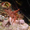 Durban Dancing Shrimp