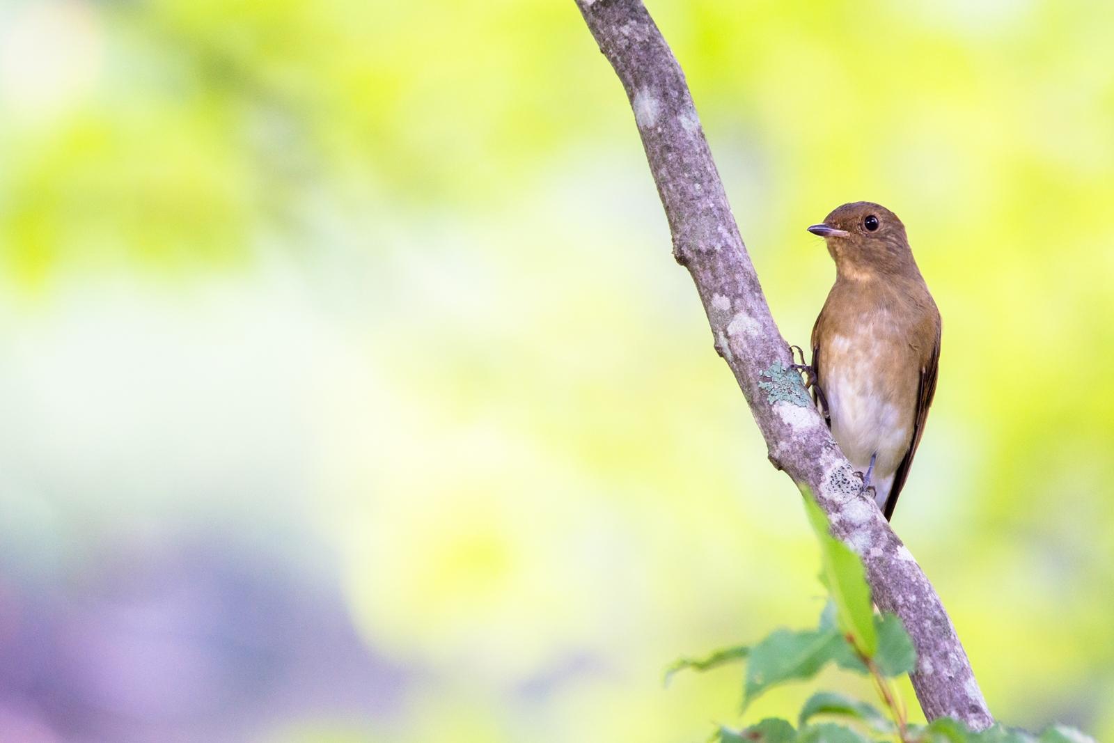 Photo: 緑の季節の輝き Glow of green season.  緑で包まれ 生命であふれた季節 あの輝きを記憶に残し 次の季節へと受け継いでゆく  Blue-and-White Flycatcher. (オオルリ・雌) 少し見分けが難しいので 間違っていたらすみません。  #birdphotography #birds #cooljapan #kawaii #nikon #sigma  Nikon D7200 SIGMA 150-600mm F5-6.3 DG OS HSM Contemporary