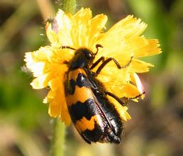 """Photo: Le Clairon des abeilles """"Trichodes alvearius apiarus"""". Le plus souvent ils sont de couleur rouge. Lubéron (04) -"""