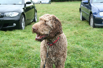 Photo: Brian Labradoodle caught in the wind...