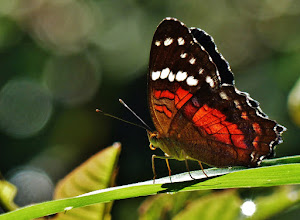 Photo: Anartia amathea, engl. Red Peacock.