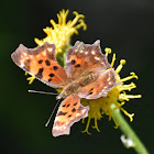 Western Comma