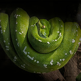 by Bruce Cramer - Animals Reptiles (  )