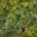 Baltic pine