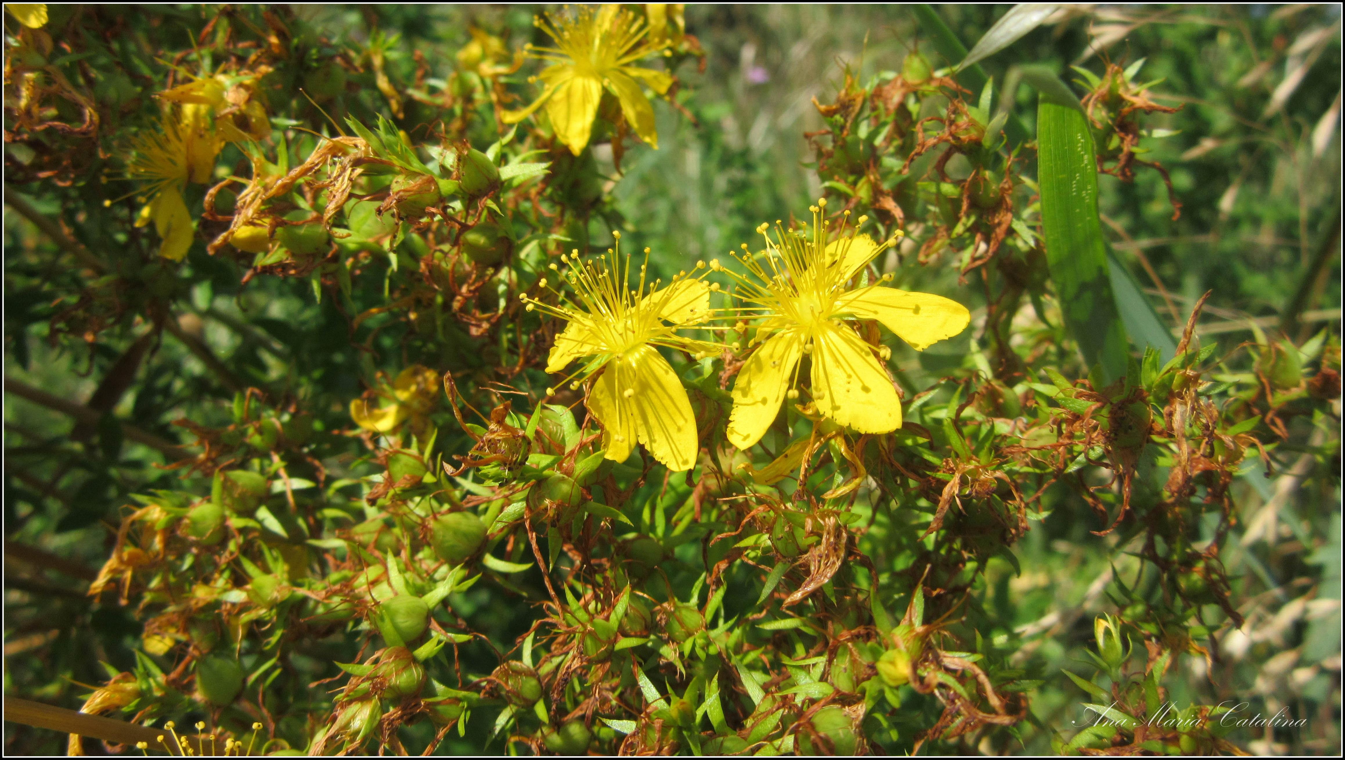 Photo: Sunătoare (Hypericum perforatum) - din zona Badeni, Cluj - 2016.07.16 album http://ana-maria-catalina.blogspot.ro/2016/07/sunatoare-hypericum-perforatum.html