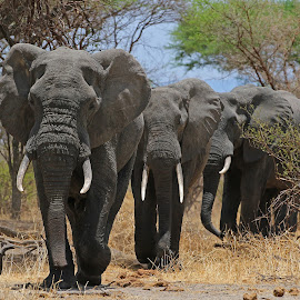 Big Boys on the move! by Anthony Goldman - Animals Other Mammals ( wild, elephant, wildlife, males, tanzania, nature moving, mammal, east africa, tuska,  )