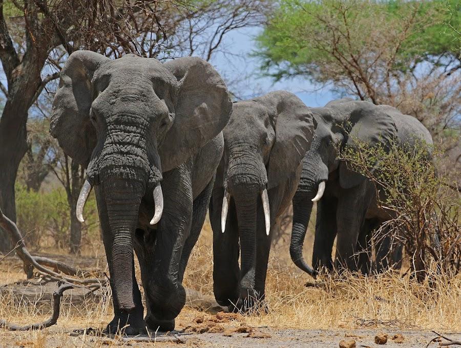 Big Boys on the move! by Anthony Goldman - Animals Other Mammals ( wild, elephant, wildlife, males, tanzania, nature moving, mammal, east africa, tuska,  )