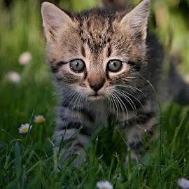 *** by Katka Kozáková - Animals - Cats Kittens ( kitten, cat )