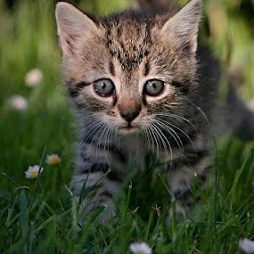 *** by Katka Kozáková - Animals - Cats Kittens ( kitten, cat,  )