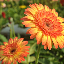 Pride by Etty Selamat - Flowers Flower Gardens ( orange, orange daisy, blooming, daisy, flower,  )
