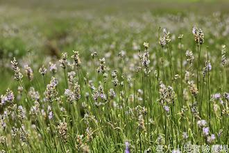 Photo: 拍攝地點: 梅峰-一平臺 拍攝植物: 薰衣草 拍攝日期: 2014_07_04_FY