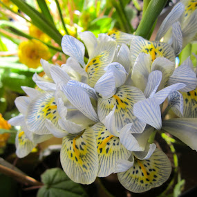 Iris by Viive Selg - Flowers Flower Arangements (  )