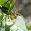 Spoon-tailed short-wing katydid