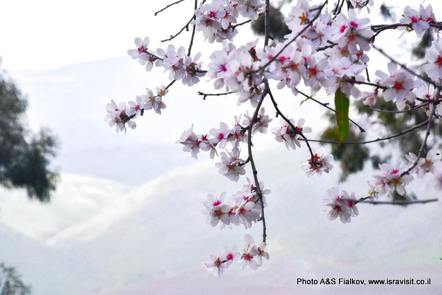Цветы Миндаля.