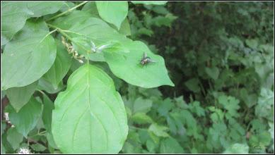 Photo: Soc (Sambucus nigra) - din Turda, Calea Victoriei, B16 - 2018.05.10