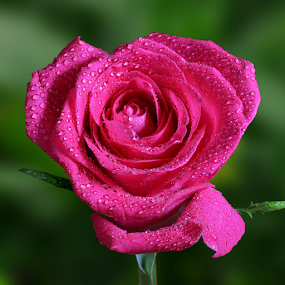 Pink Rose by Skip Spurgeon - Flowers Single Flower ( pink rose )