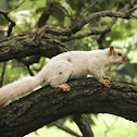 White Morph Squirrel