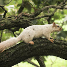 White Morph Squirrel
