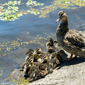Ducks on shore by Sharon Leckbee - Animals Birds ( nature, ducks )