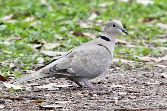 Photo: Eurasian Collared-Dove