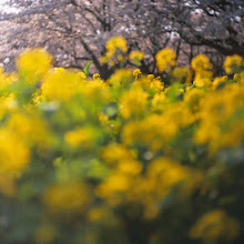 Photo: .  when you're smiling at me, i know that spring is coming soon    zenith80 on velvia50  #japan  #100tokyo  #filmphotography  #fujifilm  #photography  #sakura2015  #桜のある風景 #ishootfilm  #filmisnotdead  #analogphotography