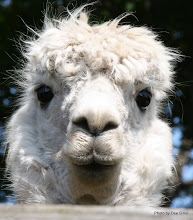 Photo: (Year 2) Day 334 - A Beautiful Alpaca #3