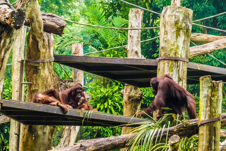 シンガポール動物園 オランウータン2