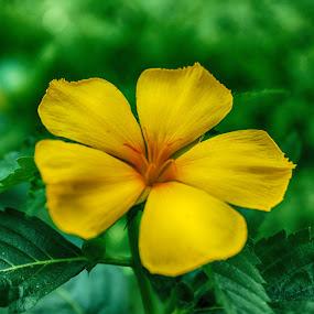 Mekar by Dahlia Putri - Flowers Single Flower ( nature, close up flower, yellow center, beauty flower, yellow flower )