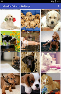 Labrador Retriever Wallpaper - náhled