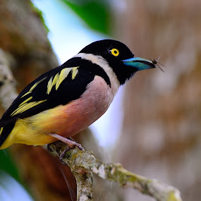 Black and Yellow Broadbill by Azmi Jailani - Animals Birds