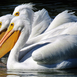 White pelicans in the lake by Mary Gallo - Animals Birds ( macro, nature, bird, nature up close, animal, lake, white pelicans, pelicans,  )