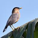 Brahminy starling